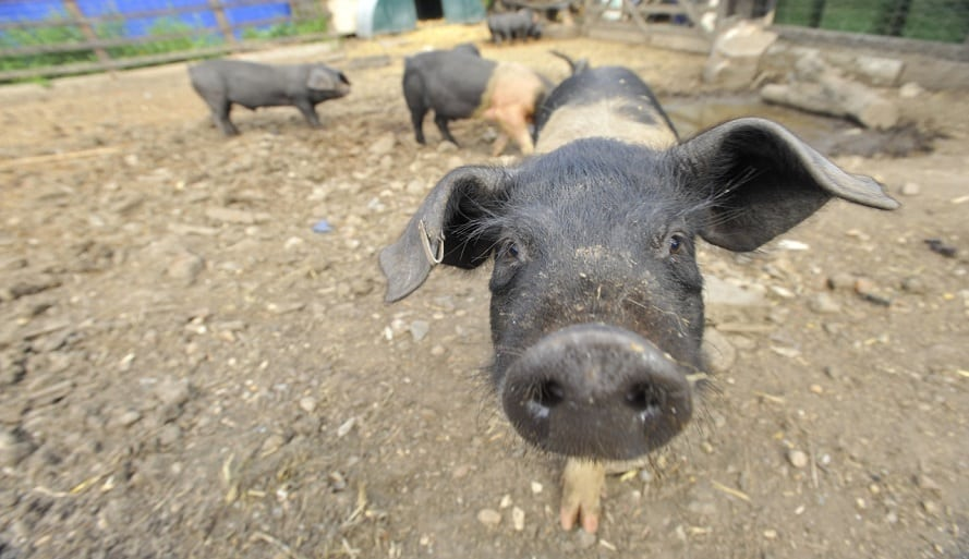 UK pig farmers support lifting the ban on feeding pigs with leftovers, while experts say safety concerns can be overcome